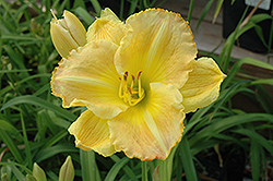 Smuggler's Gold Daylily (Hemerocallis 'Smuggler's Gold') at Dutch Growers Garden Centre