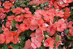 Super Elfin® Apricot Impatiens (Impatiens walleriana 'Super Elfin Apricot') at Dutch Growers Garden Centre
