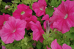 Super Cascade Pink Petunia (Petunia 'Super Cascade Pink') at Dutch Growers Garden Centre