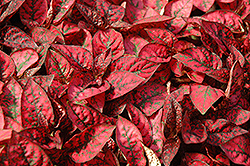 Splash Select Red Polka Dot Plant (Hypoestes phyllostachya 'Splash Select Red') at Dutch Growers Garden Centre