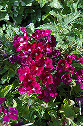 Lanai® Royal Purple with Eye Verbena (Verbena 'Lanai Royal Purple with Eye') at Dutch Growers Garden Centre