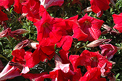 Supertunia® Red Petunia (Petunia 'Supertunia Red') at Dutch Growers Garden Centre