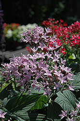 Butterfly™ Blue Star Flower (Pentas lanceolata 'Butterfly Blue') at Dutch Growers Garden Centre