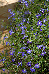 Magadi Blue Lobelia (Lobelia erinus 'Magadi Blue') at Dutch Growers Garden Centre