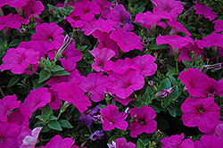 Easy Wave Neon Rose Petunia (Petunia 'Easy Wave Neon Rose') at Dutch Growers Garden Centre
