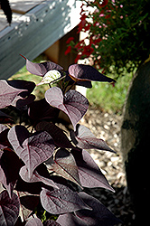 Sidekick™ Black Heart Sweet Potato Vine (Ipomoea batatas 'Sidekick Black Heart') at Dutch Growers Garden Centre