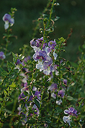 Angelface® Wedgewood Blue Angelonia (Angelonia angustifolia 'Angelface Wedgewood Blue') at Dutch Growers Garden Centre