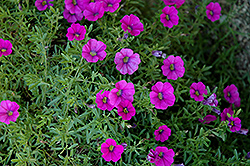 Superbells® Trailing Rose Calibrachoa (Calibrachoa 'Superbells Trailing Rose') at Dutch Growers Garden Centre