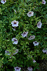 Superbells® Trailing Lilac Mist Calibrachoa (Calibrachoa 'Superbells Trailing Lilac Mist') at Dutch Growers Garden Centre