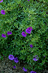 Superbells® Trailing Blue Calibrachoa (Calibrachoa 'Superbells Trailing Blue') at Dutch Growers Garden Centre
