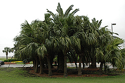 Chinese Fan Palm (Livistona chinensis) at Dutch Growers Garden Centre