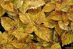 Freckles Coleus (Solenostemon scutellarioides 'Freckles') at Dutch Growers Garden Centre