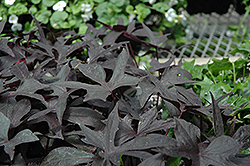 Blackie Sweet Potato Vine (Ipomoea batatas 'Blackie') at Dutch Growers Garden Centre