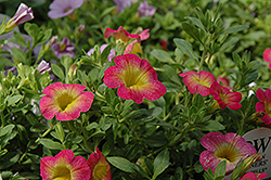 Superbells® Sweet Tart Calibrachoa (Calibrachoa 'Superbells Sweet Tart') at Dutch Growers Garden Centre