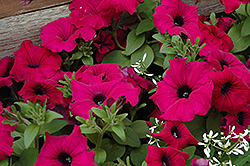 Supertunia® Royal Magenta™ Petunia (Petunia 'Supertunia Royal Magenta') at Dutch Growers Garden Centre
