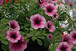 Supertunia® Mini Rose Veined Petunia (Petunia 'Supertunia Mini Rose Vein') at Dutch Growers Garden Centre
