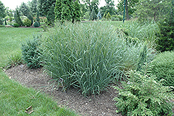 Heavy Metal Blue Switch Grass (Panicum virgatum 'Heavy Metal') at Dutch Growers Garden Centre