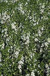 Angelface® White Angelonia (Angelonia angustifolia 'Angelface White') at Dutch Growers Garden Centre