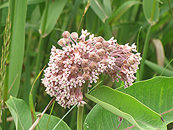 Common Milkweed (Asclepias syriaca) at Dutch Growers Garden Centre