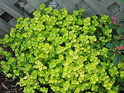 Golden Oregano (Origanum vulgare 'Aureum') at Dutch Growers Garden Centre