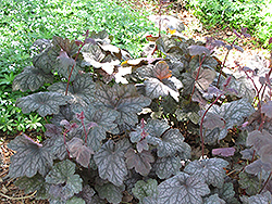 Velvet Night Coral Bells (Heuchera 'Velvet Night') at Dutch Growers Garden Centre