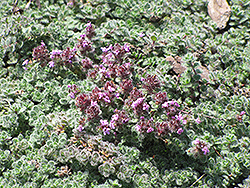 Wooly Thyme (Thymus pseudolanuginosis) at Dutch Growers Garden Centre