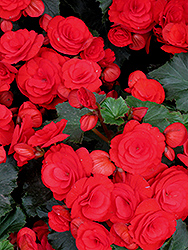 Nonstop® Red Begonia (Begonia 'Nonstop Red') at Dutch Growers Garden Centre