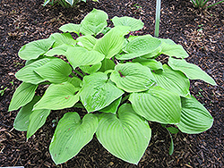 August Moon Hosta (Hosta 'August Moon') at Dutch Growers Garden Centre
