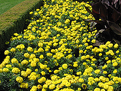 Inca Yellow Marigold (Tagetes erecta 'Inca Yellow') at Dutch Growers Garden Centre