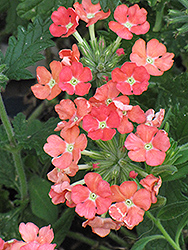 Superbena® Royale Peachy Keen Verbena (Verbena 'Superbena Royale Peachy Keen') at Dutch Growers Garden Centre