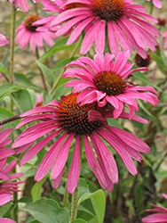 Ruby Star™ Coneflower (Echinacea purpurea 'Rubinstern') at Dutch Growers Garden Centre