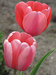Pink Impression Tulip (Tulipa 'Pink Impression') at Dutch Growers Garden Centre