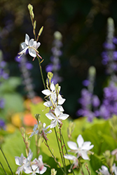 Stratosphere™ White Gaura (Gaura lindheimeri 'Gautalwi') at Dutch Growers Garden Centre