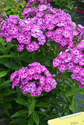 Laura Garden Phlox (Phlox paniculata 'Laura') at Dutch Growers Garden Centre