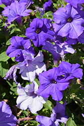 Surfinia® Heavenly Blue Petunia (Petunia 'Surfinia Heavenly Blue') at Dutch Growers Garden Centre
