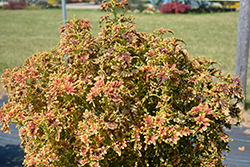 Under The Sea™ Copper Coral Coleus (Solenostemon scutellarioides 'Copper Coral') at Dutch Growers Garden Centre