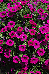 MiniFamous® Purple Calibrachoa (Calibrachoa 'MiniFamous Purple') at Dutch Growers Garden Centre