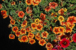 Superbells® Spicy Calibrachoa (Calibrachoa 'Superbells Spicy') at Dutch Growers Garden Centre