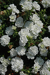 Surfinia® Summer Double White Petunia (Petunia 'Surfinia Summer Double White') at Dutch Growers Garden Centre