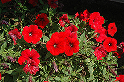 Surfinia® Deep Red Petunia (Petunia 'Surfinia Deep Red') at Dutch Growers Garden Centre