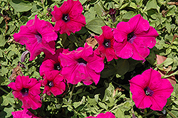 Surfinia® Giant Purple Petunia (Petunia 'Surfinia Giant Purple') at Dutch Growers Garden Centre