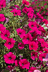 Supertunia® Mini Purple Petunia (Petunia 'Supertunia Mini Purple') at Dutch Growers Garden Centre