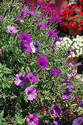 Supertunia® Indigo Charm Petunia (Petunia 'Supertunia Indigo Charm') at Dutch Growers Garden Centre