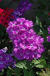 Superbena® Violet Ice Verbena (Verbena 'Superbena Violet Ice') at Dutch Growers Garden Centre