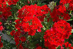 Tukana Scarlet Verbena (Verbena 'Tukana Scarlet') at Dutch Growers Garden Centre