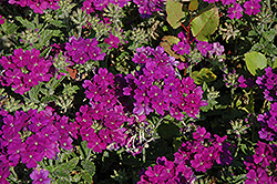 Lanai® Blue Verbena (Verbena 'Lanai Blue') at Dutch Growers Garden Centre