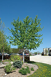 Silver Cloud Silver Maple (Acer saccharinum 'Silver Cloud') at Dutch Growers Garden Centre