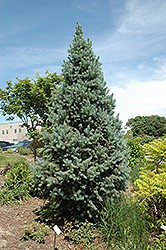 Upright Colorado Spruce (Picea pungens 'Fastigiata') at Dutch Growers Garden Centre