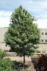 Goldspur™ Amur Cherry (Prunus maackii 'Jefspur') at Dutch Growers Garden Centre