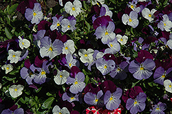 Anytime Sugarplum Pansiola (Viola x wittrockiana 'Anytime Sugarplum') at Dutch Growers Garden Centre